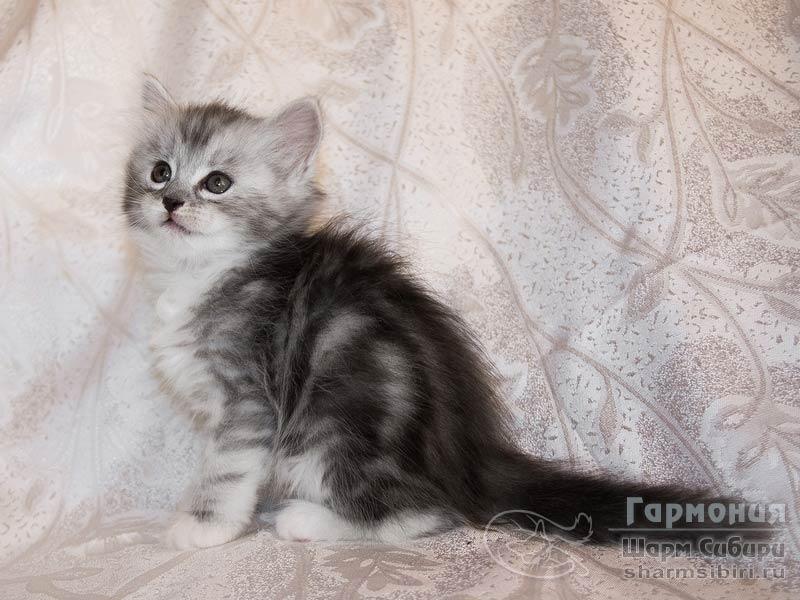 Сибирская кошка Гармония Шарм Сибири