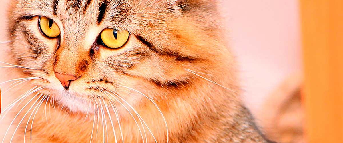 Питомник сибирских кошек Шарм Сибири