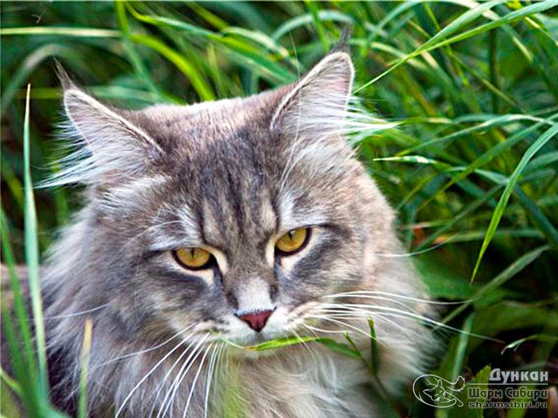 Сибирский кот Дункан Шарм Сибири