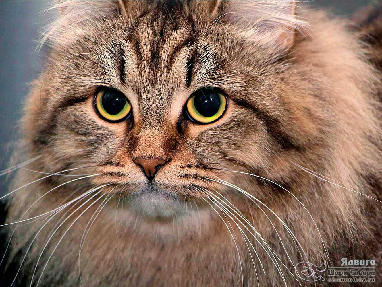 Сибирская кошка Ядвига Шарм Сибири