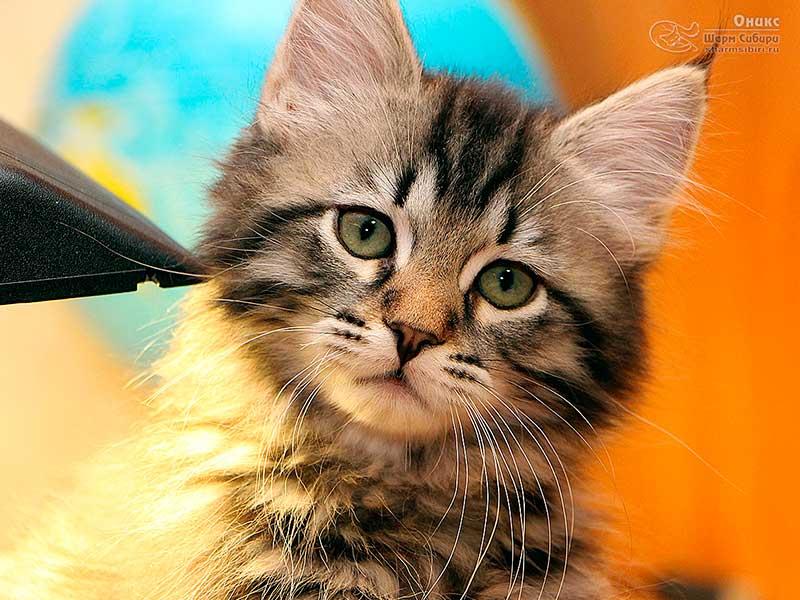 Сибирский кот Оникс Шарм Сибири