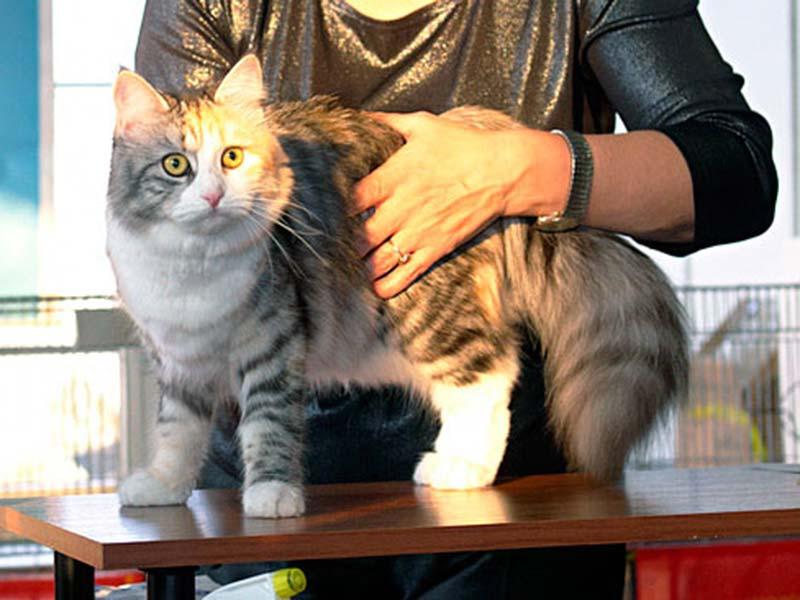 Сибирская кошка Патрисия Шарм Сибири