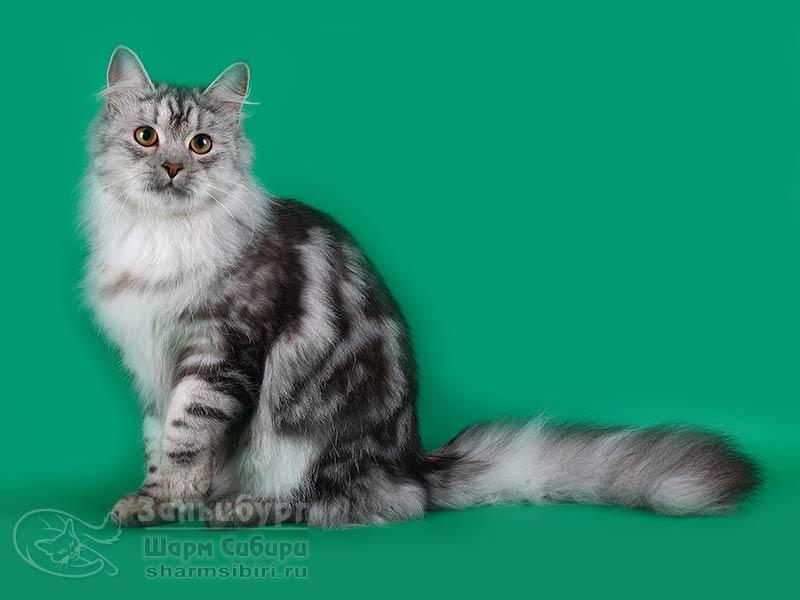 Сибирский кот Зальцбург Шарм Сибири