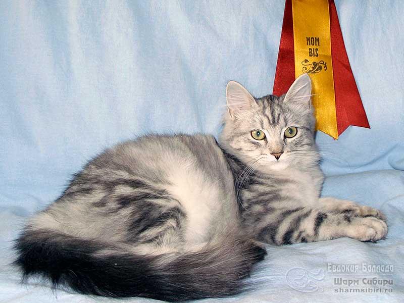 Сибирская кошка Евдокия Баллада