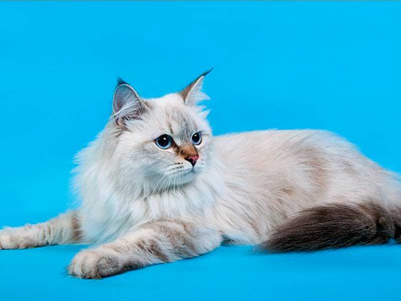 Сибирская кошка Жоржетта Шарм Сибири