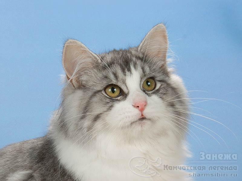 Сибиркая кошка