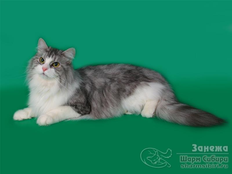 Сибирская кошка Занежа Камчатская Легенда