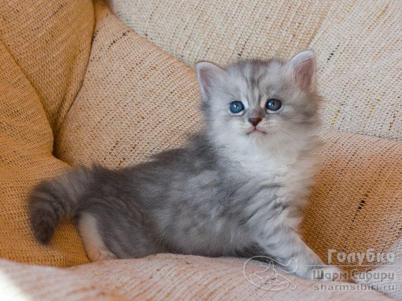 Сибирская кошка Голубка Шарм Сибири