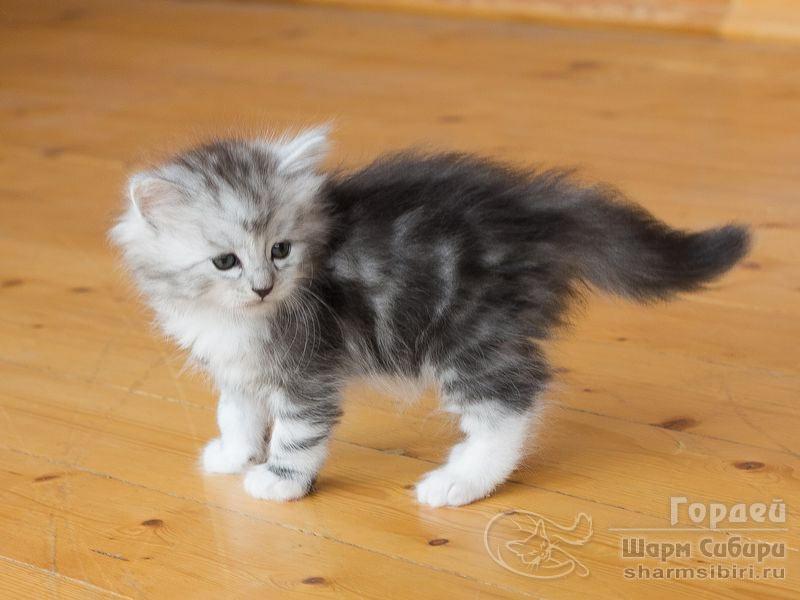 Сибирский кот Гордей Шарм Сибири
