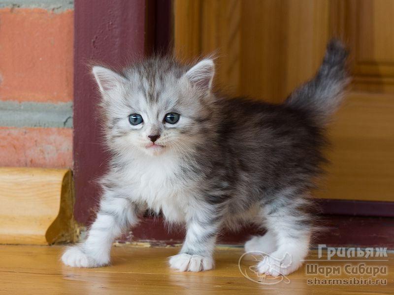 Сибирский кот Грильяж Шарм Сибири