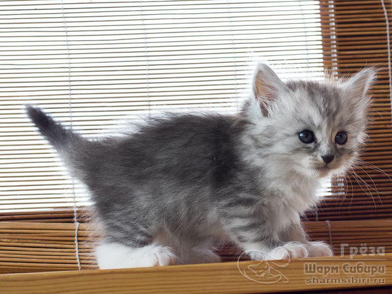 Сибирская кошка Грёза Шарм Сибири