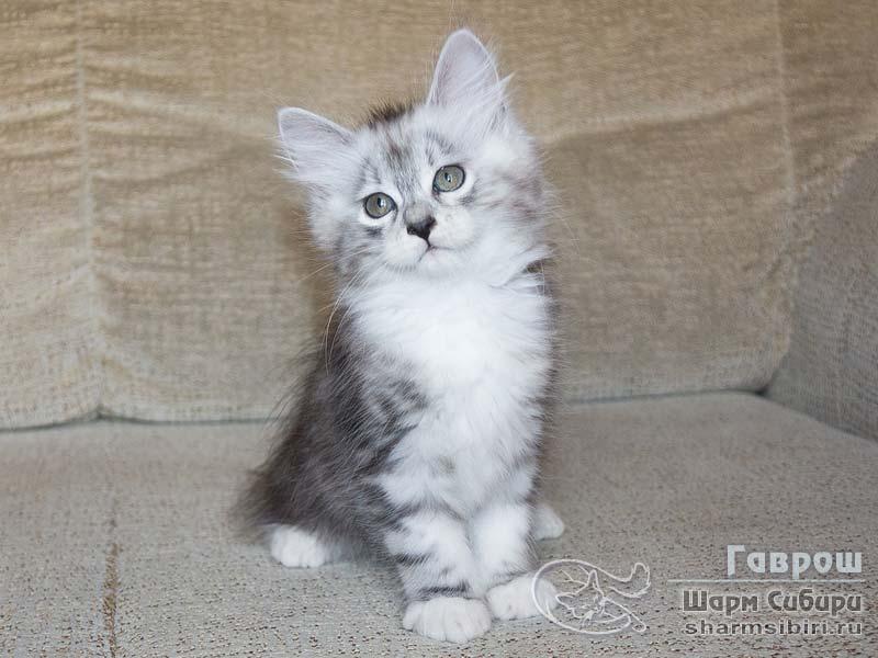 Сибирский кот Гаврош Шарм Сибири