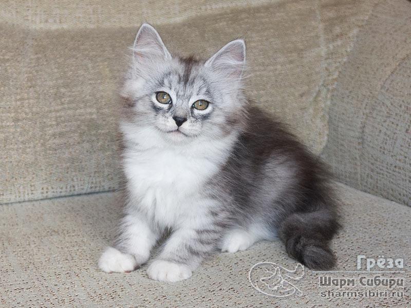 Сибирская кошка Греза Шарм Сибири