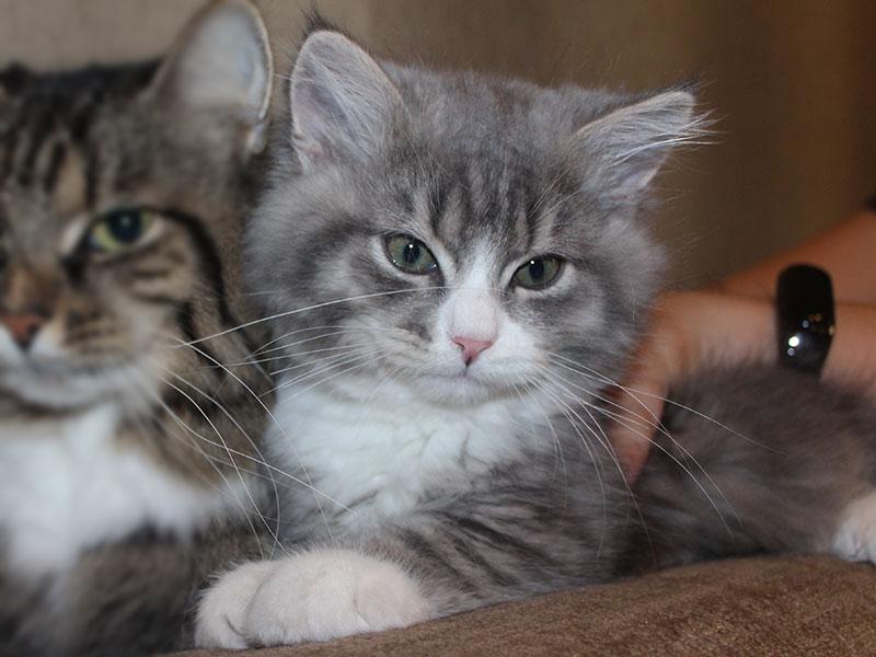Сибирский кот Никифор Камчатская Легенда